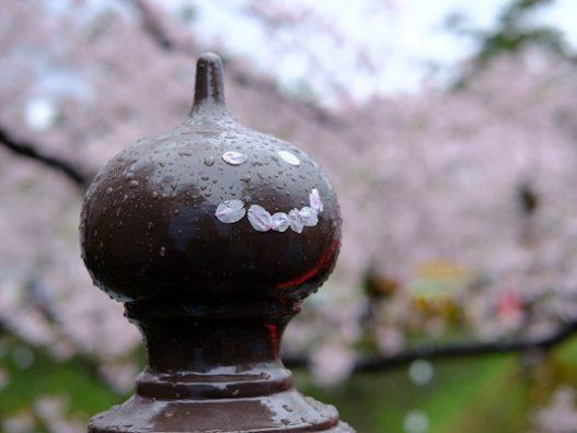 青森の桜も散りどきです☆