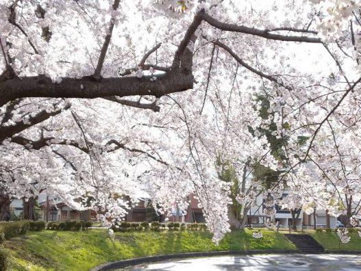 弘前城東店 桜とシャルマン!