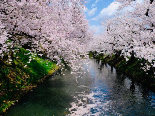 今年の桜はあっという間!